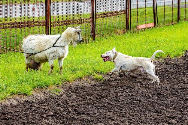 Witte hond pitbull en geit op weiland. een getrainde hond beschermt geit_ Premium Foto