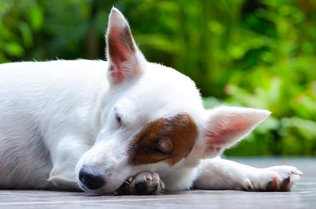 Slapen Op Grond : Witte hond slaap op de grond in zonnige dag de kleine hond
