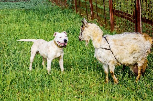 Witte hondenras pitbull beschermt geit op pasture_ Premium Foto