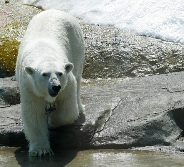 Witte ijsbeer in dierentuin Premium Foto