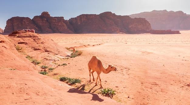 Witte kameelwandelingen in het zand van de wadi rum-woestijn in jordanië Premium Foto