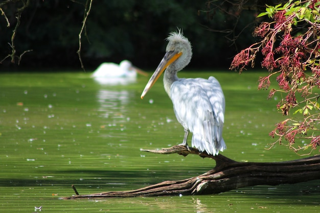 Witte knorrige pelikaan die op een stuk hout dichtbij het meer neerstrijkt Gratis Foto