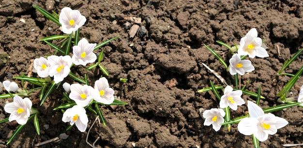 Witte krokusbloem op blauwe achtergrond. lentebloesem, eerste bloem Premium Foto