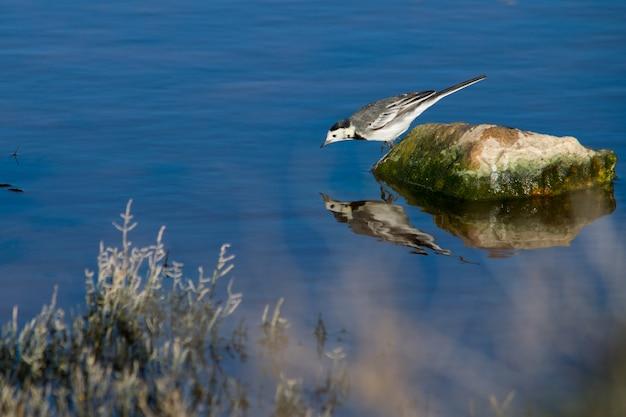 Witte kwikstaart op een steen die controleert en vecht tegen zijn eigen weerspiegeling in het water Gratis Foto