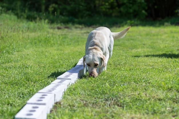 Witte labrador retriever snuift een rij containers op zoek naar een met een verborgen voorwerp. opleiding om hulphonden op te leiden voor politie, douane of grensdienst. Premium Foto