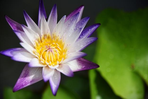 Witte lotusbloem en groen blad in de tuin Premium Foto