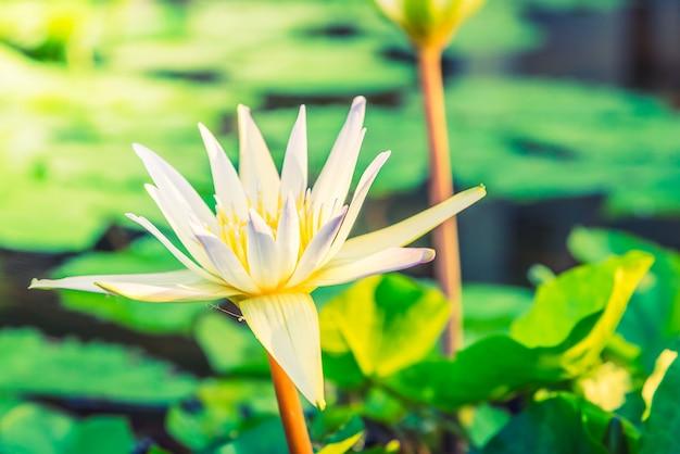 Witte lotusbloem Gratis Foto
