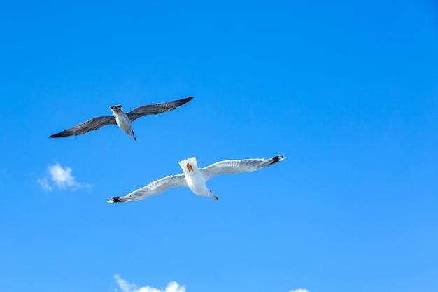 Witte meeuwen zweven in de lucht. bird's vlucht. seagull op blauwe hemel Premium Foto