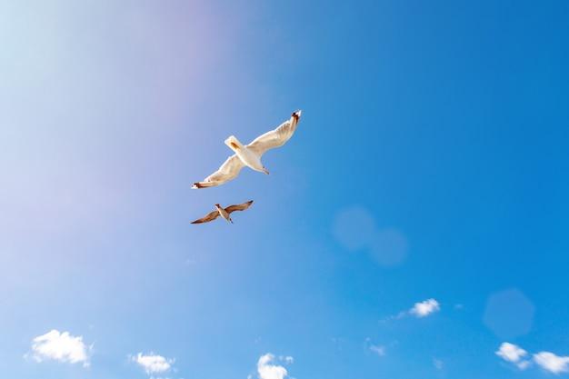 Witte meeuwen zweven in de lucht. bird's vlucht. zeemeeuw op blauwe hemelachtergrond Premium Foto