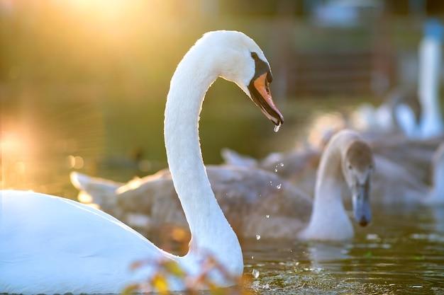 Witte mooie zwaan zwemmen op meerwater in de zomer. Premium Foto