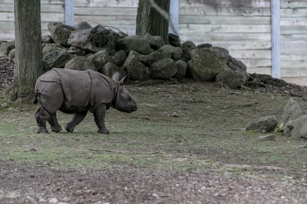 Witte neushoorn rent door een dierentuin omgeven door houten hekken en groen Gratis Foto