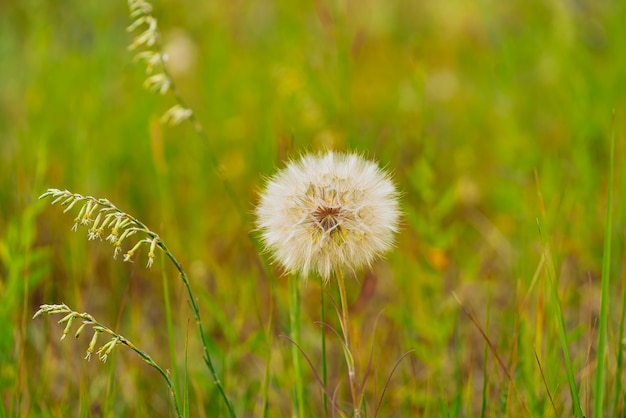 Witte paardebloemen bloemen in groen gras in de zomertuin Premium Foto