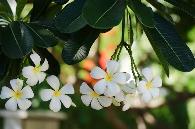 Witte plumeria bloemen Premium Foto