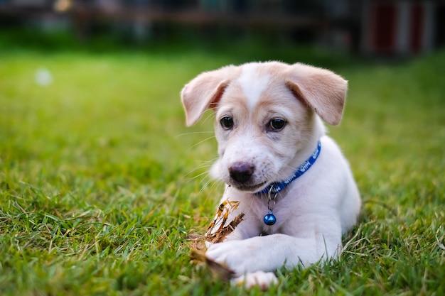 Witte puppy spelen in de groene tuin. Premium Foto