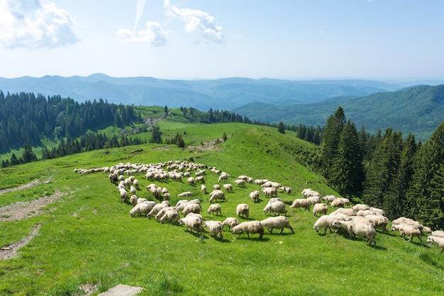Witte schapen op groene valleien van de karpaten Premium Foto
