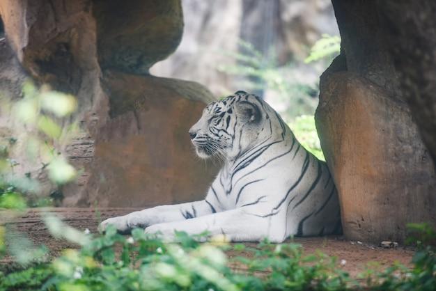 Witte tijger die op grond in landbouwbedrijfdierentuin ligt in het nationale park Premium Foto