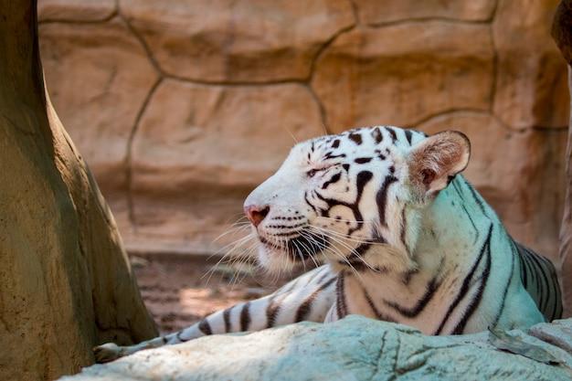 Witte tijger op aard. wilde dieren. Premium Foto