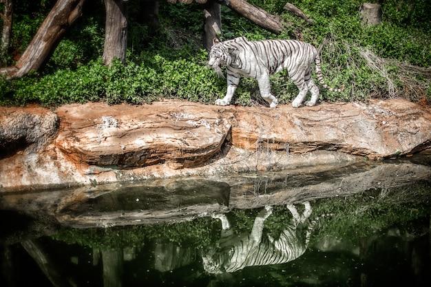Witte tijger Premium Foto
