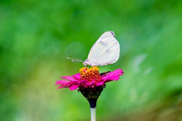 Witte vlinder zittend op een roze bloem bij zonnig weer op een onscherpe background_ Premium Foto