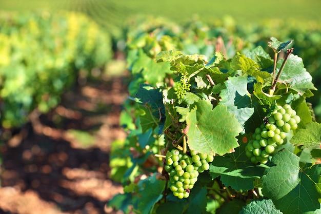 Witte wijn druiven groeien in een wijngaard Gratis Foto