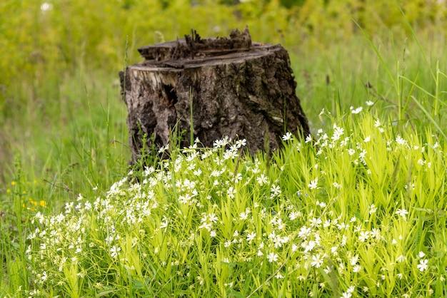 Witte wilde bloemen op de achtergrond van de stronk. Premium Foto