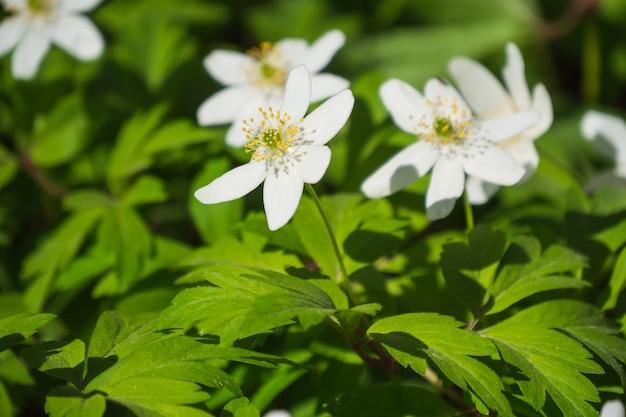 Witte windbloemen of anemone nemorosa (sneeuwklokje anemoon) Premium Foto