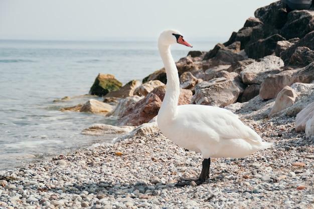 Witte zwaan op een rotsachtige rivieroever Premium Foto
