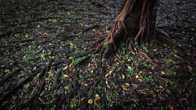 Wortel van een grote boom Premium Foto
