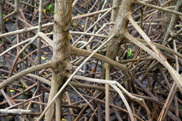 Wortels van mangrovebomen. in het vruchtbare mangrovebos. Premium Foto