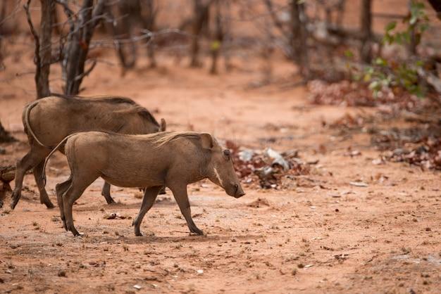 Wrattenzwijnen die in een droge savanne lopen Gratis Foto