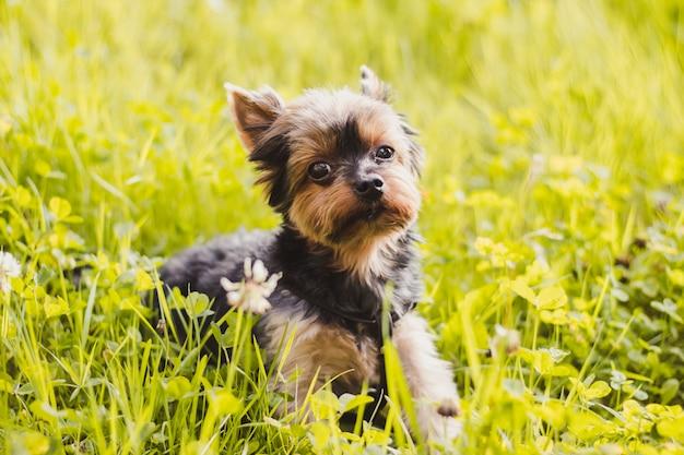 Yokshire terrier voor een wandeling in het gras Premium Foto