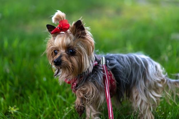Yorkshire terrier aangelijnd voor een wandeling Premium Foto