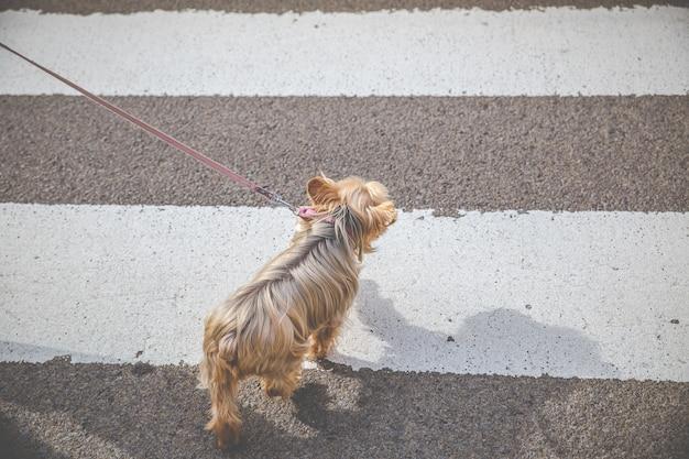 Yorkshire terrier dog op straat Premium Foto