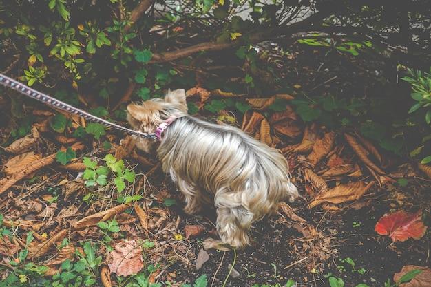 Yorkshire terrier dog Premium Foto
