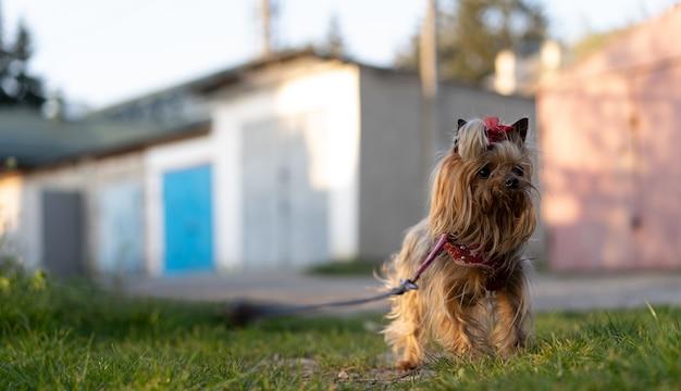 Yorkshire terrier op een wandeling aan de leiband Premium Foto