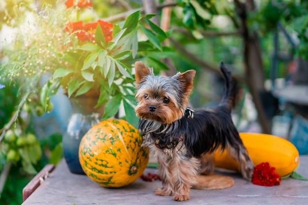 Yorkshire terrier puppy op de tafel met pompoenen Premium Foto