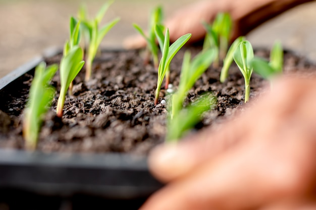 Zaailingen van maïs groeien in de kwekerij. Premium Foto