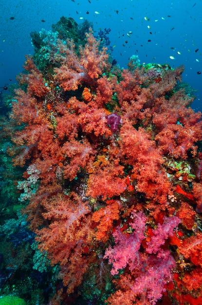 Zachte koraalkolonie, similan-eiland thailand Premium Foto