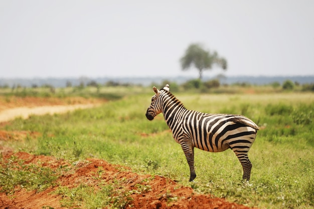 Zebra in het grasland van tsavo east national park, kenia, afrika Gratis Foto