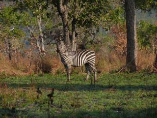 Zebra's, bomen Gratis Foto