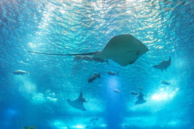 Zee pijlstaartrog en zeeleven. een zeeaquarium met vissen en koralen. Premium Foto