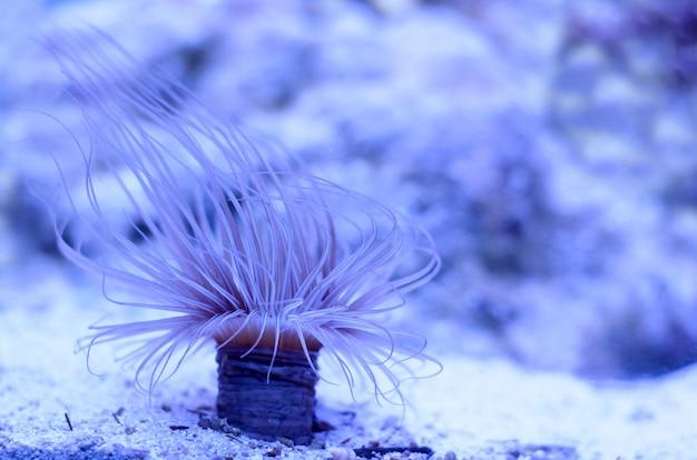 Zeeanemoon in een donkerblauw water van aquarium. Premium Foto