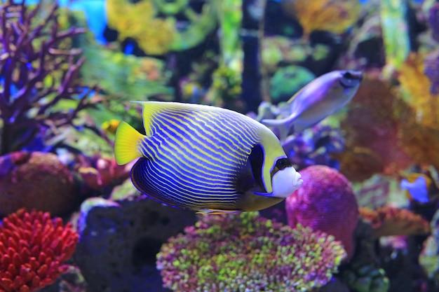 Zeeëngel die onder water in aquariumtank zwemt. Premium Foto