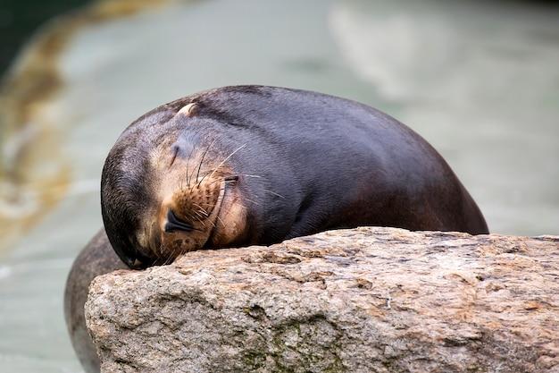 Zeehond slapen op de steen Premium Foto