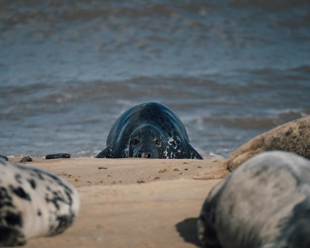 Zeehonden die overdag op het zand van het strand liggen Gratis Foto