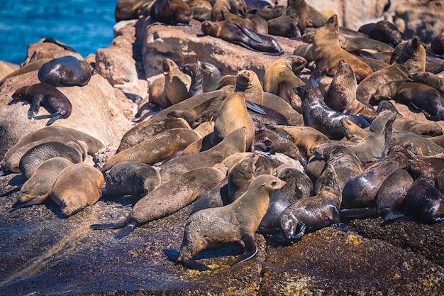 Zeehonden op een hout bay zeehondeneiland in kaapstad, zuid-afrika Premium Foto