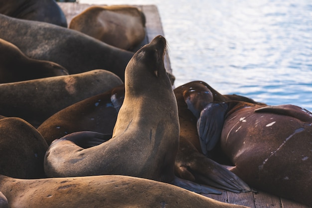 Zeeleeuwen in pier 39, san francisco, staat californië Premium Foto