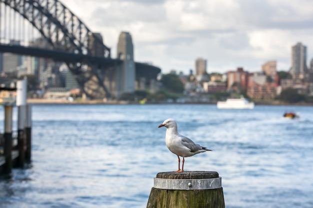 Zeemeeuw in sydney harbour Premium Foto