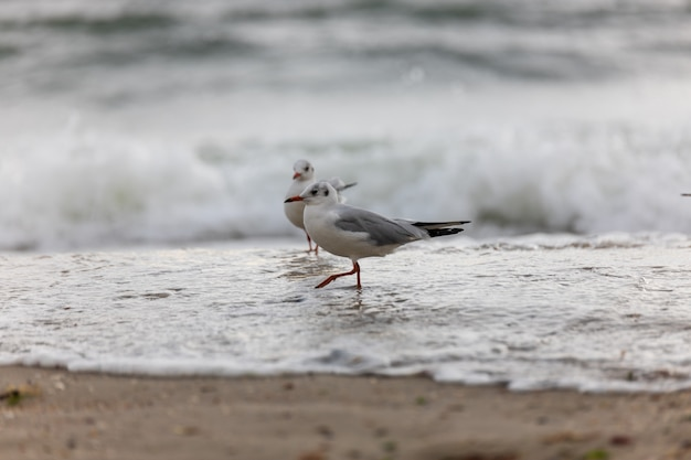 Zeemeeuw op het strand tijdens de vlucht Premium Foto
