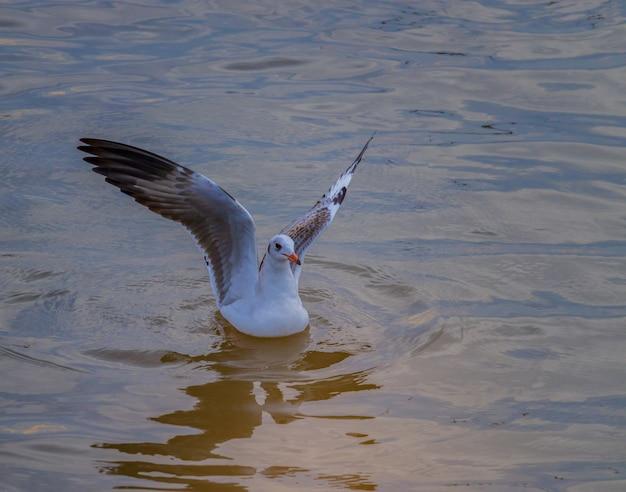 Zeemeeuwen die over het overzeese oppervlakte in de avond bij klappu overzees vliegen, thailand. Premium Foto